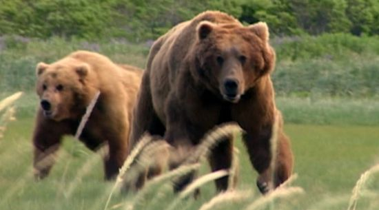 grizzly_man_6